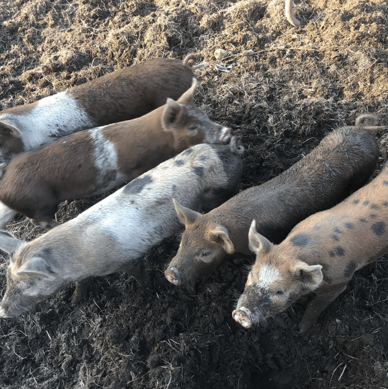 Wandering Brook Farms - pastured pigs - Craftsbury, VT